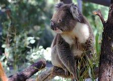 Koala Photographie stock