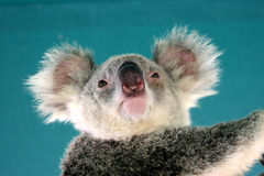 Koala. A koala rest on tree Stock Photography