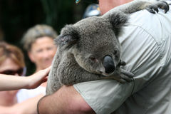 Koala. A koala in arms of a zooman Stock Images