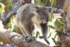 koala fotos de stock royalty free