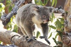 koala fotografie stock libere da diritti