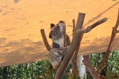 koala Стоковое Изображение RF