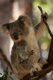koala Στοκ Εικόνες
