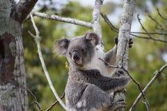 koala Royaltyfria Bilder