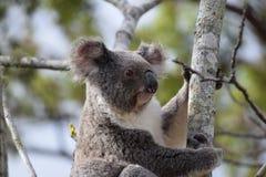 koala Zdjęcia Stock
