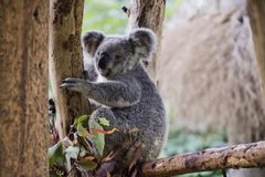 koala Royaltyfri Fotografi