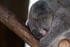 koala Imagenes de archivo