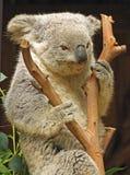 koala Obrazy Stock