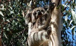 koala Photos libres de droits