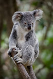 Koala. Australian Koala bear resting in a eucalyptus tree Stock Images