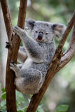 Koala. Australian Koala bear resting in a eucalyptus tree Royalty Free Stock Photo