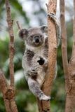 Koala Stock Afbeelding