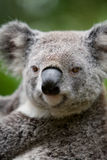 Koala. Closeup of an Australian Koala bear resting in a eucalyptus tree Stock Photo