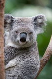 Koala. Closeup of an Australian Koala bear resting in a eucalyptus tree Royalty Free Stock Photography