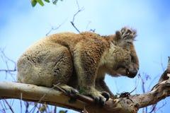 koala Immagine Stock