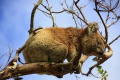 koala Immagine Stock Libera da Diritti