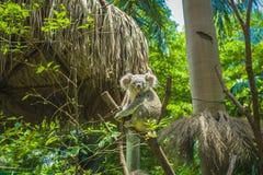 koala Fotos de Stock Royalty Free