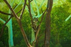 koala Lizenzfreies Stockbild