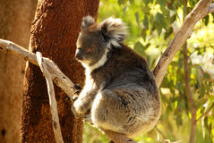 KOALA. AUSTRALIAN KOALA SITTING IN A TREE Stock Image