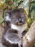 koala Στοκ εικόνες με δικαίωμα ελεύθερης χρήσης