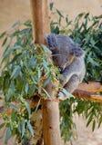 koala Obrazy Royalty Free