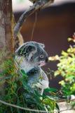 koala 2 Arkivfoto
