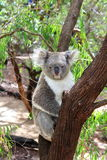 Koala 1 Photographie stock