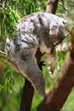 The koala Stock Images