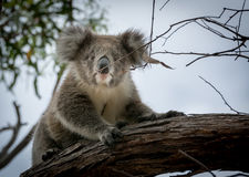 koala Στοκ Φωτογραφία