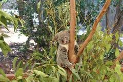 koala Zdjęcie Royalty Free