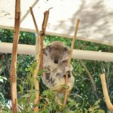 koala Fotografia Stock
