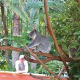 koala photographie stock