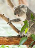 koala Стоковые Фотографии RF