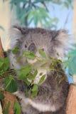 koala Στοκ Φωτογραφίες