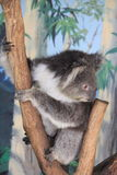 koala Στοκ φωτογραφίες με δικαίωμα ελεύθερης χρήσης