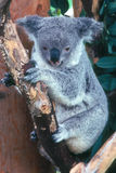 Koala. On a tree branch Royalty Free Stock Photo