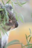 Koala royalty free stock photos
