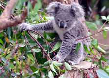 Koala Imágenes de archivo libres de regalías