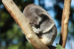 Koala. In Taronga Zoo, Australia stock photography