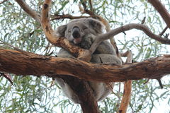 koala Lizenzfreie Stockfotos