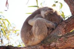 koala Stockbilder