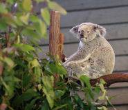 Koala. Sitting in a tree Stock Photography
