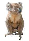 Koala. Adult male koala, Phascolarctos cinereus, typical wild animal that lives in the forests of eucalyptus mainly in Victoria in Australia, sitting in front of royalty free stock image