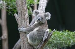 Koala in albero fotografia stock