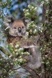 Koala in albero Immagine Stock