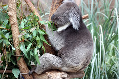 Koala alimentant Image stock