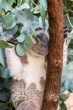 Koala alimentant sur des feuilles de gomme photo stock