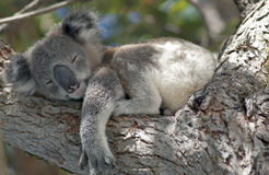 Koala. Asleep in gum tree stock image