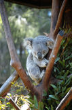 Koala asleep in a tree. A sleepy koala bear asleep in a tree Stock Photos