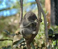 A koala asleep in a tree. A koala asleep in the fork of a tree. He appears to be smiling Stock Photography